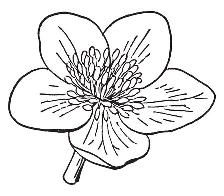 This picture is a type of marigold flower also called as Caltha Palustris, vintage line drawing or engraving illustration. Иллюстрация