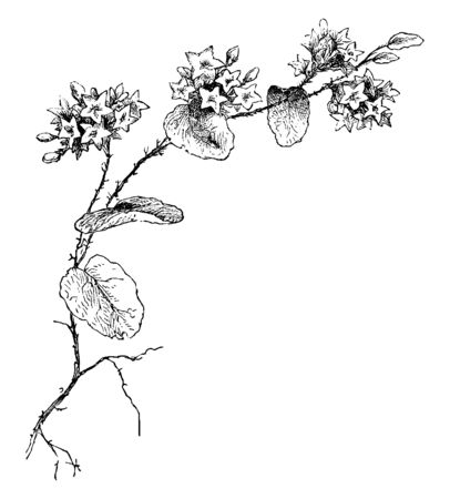 Picture of a flower known as Mayflower. This flower is found in Newfoundland to Florida, West to Kentucky and the Northwest Territory. It is also found parts of Central Europe and West Africa, vintage line drawing or engraving illustration.