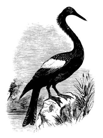 Anhinga called snakebird darter American darter or water turkeywater bird of the warmer parts of the Americasvintage line drawing or engraving illustration.