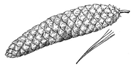 The pine cone of a sugar pine tree. These trees are also known as Pinus Lamertiana, vintage line drawing or engraving illustration.