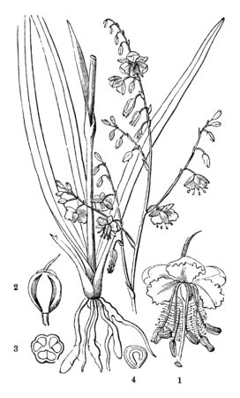 This is a picture of organs of Pale Vanilla Lily. It has narrow, slightly fleshy, dark green leaves and pale purple or pink flowers, vintage line drawing or engraving illustration. Ilustração