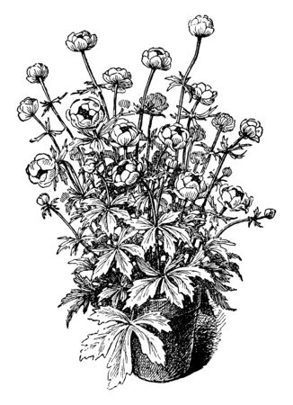 A picture is showing Trollius Europaeus. It is a perennial plant which belongs to Ranunculaceae family. It is native to Europe and Western Asia. Flowers are bright yellow and globe-shaped, vintage line drawing or engraving illustration.