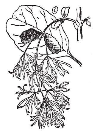 The image shows a Chionanthus Virginica. It is a large shrub. The bark is scaly, brown tinged with red. The shoots are light green, downy at first, later becoming light brown or orange, vintage line drawing or engraving illustration. Illusztráció