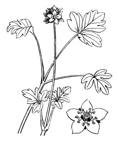 It is a Moschatel plant which is an herbaceous perennial flowering plant, vintage line drawing or engraving illustration.