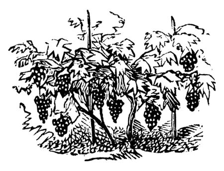 A picture showing Grapevine or vineyard of Grapes which is a fruit, or a berry, of the deciduous woody vines of the flowering plant genus Vitis, vintage line drawing or engraving illustration.