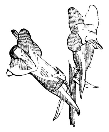 An image of corolla of the foxglove which is regent and spurred. It is also known as Linaria is the genus of 150 species of perennials and herbaceous annuals in family Plantaginaceae, vintage line drawing or engraving illustration.