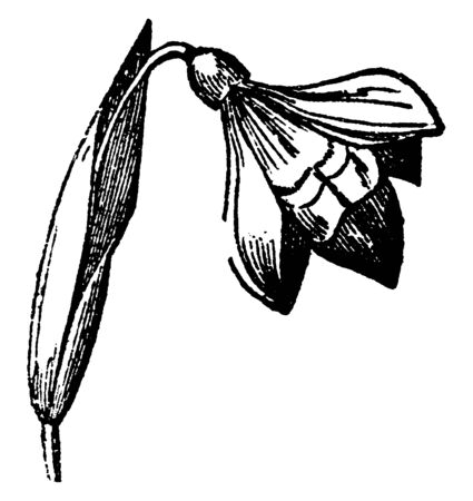 A picture shows branch of Sheath Plant. Flower originating from leaves, It has cap like receptacles, sepals. This is one of the grass plants, vintage line drawing or engraving illustration.