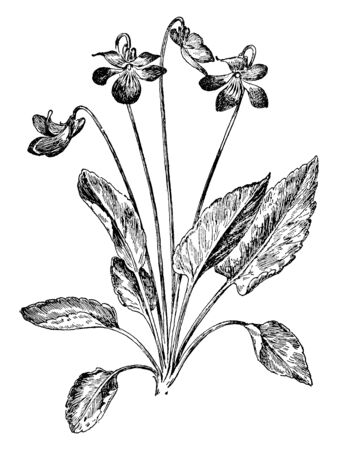Arrow-Leaved Violet also known as Viola sagittata in the family Violaceae. The leaves are relatively smooth and hairy and are arrowhead in shape. The Flowers are half white with dark purple in color, vintage line drawing or engraving illustration. 向量圖像