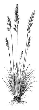 Festuka Ovina is a species of grass for sheep grazing, vintage line drawing or engraving illustration.