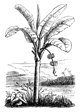 The edible fruit of the plantain has more starch than the banana and is not eaten raw. Because plantain has a maximum of starch before it ripens. The plant is believed to have originated in Southeast, vintage line drawing or engraving illustration.