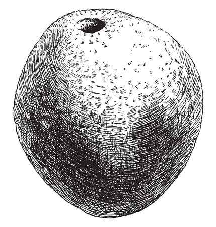 This is a fruit of is a deciduous tree. It is edible and has hard woody rind, vintage line drawing or engraving illustration.