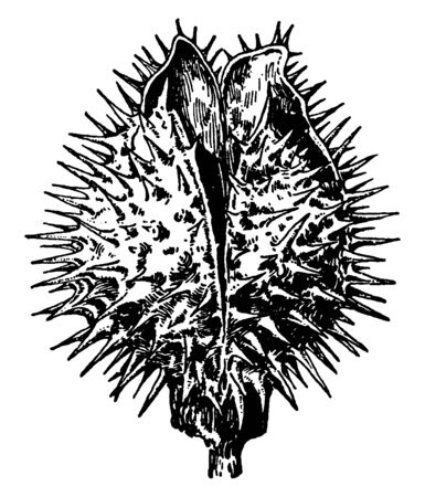 A picture is showing Datura Fruit. This fruit is a spiny capsule. The seeds are freely disperse over the pastures, the fields and even wasteland locations, vintage line drawing or engraving illustration.