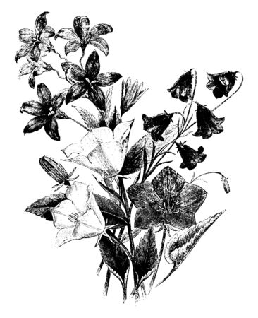 This is a picture of group of Campanulas. It has mostly blue to purple, white to pink flowers with five- lobed corolla, vintage line drawing or engraving illustration.