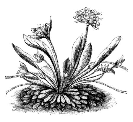 A picture is showing a flowering plant of Androsace Sarmentosa. The flowers of Androsace Sarmentosa are bright rose color with a white eye and are grown in groups of ten to twenty on an erect stalk, vintage line drawing or engraving illustration.