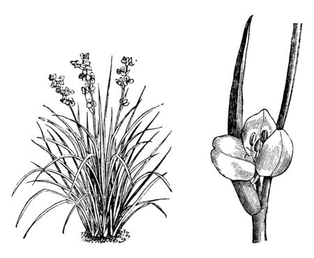 A picture of habit and portion of detached inflorescence of Libertia Formosa. The flowers are white in color. The leaves are liner and sword shaped, vintage line drawing or engraving illustration.  イラスト・ベクター素材