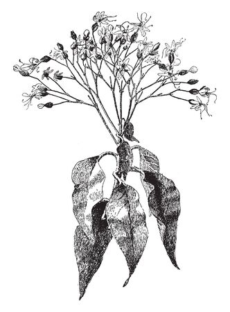 It is a large shrub, the leaves are ovate, the fragrant flowers are borne on branching peduncles. They have white petals, held within a green calyx which turns red as the fruits ripen, vintage line drawing or engraving illustration. Illustration
