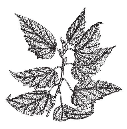 Babonia Argenteo Guttata is known for its dark green leaves, with lots of white spots. It is a densely leaves on many branches, vintage line drawing or engraving illustration.