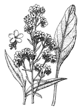 A picture is showing the dropmore variety of Anchusa italica grows three feet tall. The flowers are purple and grow on loose heads, vintage line drawing or engraving illustration.