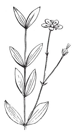 A picture is showing Flower. This is a piece of lateral flowering sandwort, vintage line drawing or engraving illustration.