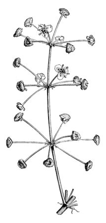 This plant is small and thin. The stems are very thin and long. The flowers are small and it has three petals it is attached to branch. Anther is inside the flower, vintage line drawing or engraving illustration.