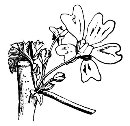 This picture shows a bundle of flower of a mallow plant. In which a flower is feeding and all other flowers are blooming, vintage line drawing or engraving illustration. 向量圖像
