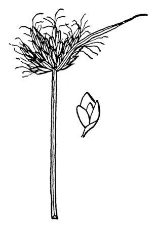 The Bulrush grows 40 to 80 inches high & the leaves blades are 10-20 mm wide, linear, quite rigid, spongy, light bluish green, vintage line drawing or engraving illustration.