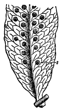 It is picture of common Polypody leaf with sori and the sori or groups of spore-cases are borne on the back of the leaf, vintage line drawing or engraving illustration.