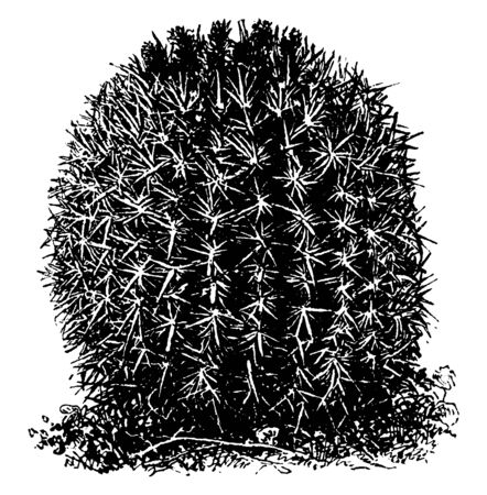A picture of Coast Barrel Cactus. It is a genus of Ferocactus and it is mostly found in southern California, vintage line drawing or engraving illustration.