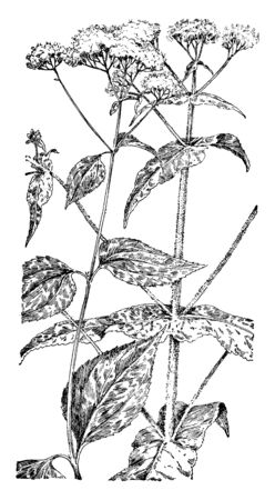 A picture shows the White Snakeroot and Boneset Plant. Stems are light green, sometimes tan, round, with few or no hairs. Near the base of the plant, leaves are heart-shaped to oval, vintage line drawing or engraving illustration. Ilustração