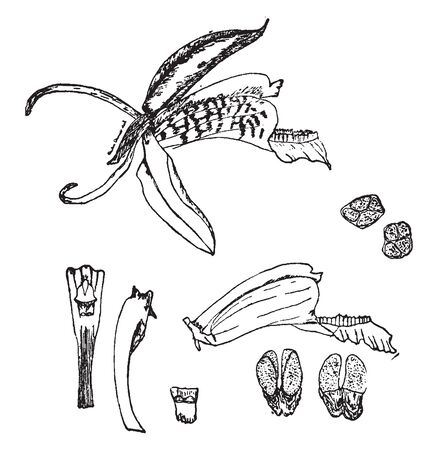 Flower of Coelogyne speciosa is a downward facing and needs to be placed in an elevated position so as to see up into the flower. It need warm conditions as its parents originate from the tropics, vintage line drawing or engraving illustration. Ilustração