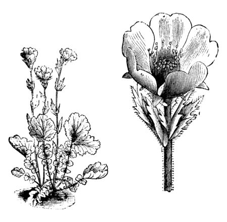 This picture belongs to Geum Montanum flower; this flower is yellow and is in a vertical state. Its leaves are gently hairy and this plant grows to a height of 6 to 12 inches, vintage line drawing or engraving illustration.