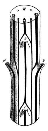 This is a diagram of Cerastium Stem which is showing the cross section of the stem of Cerastium, vintage line drawing or engraving illustration.