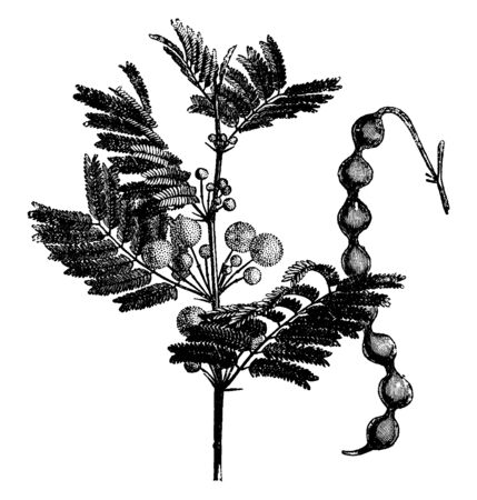This is an acacia, its leaves are fine in size, the flowers have grown on branch, and the tree has long-sized pods, vintage line drawing or engraving illustration.