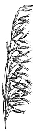 A picture showing oats. It is an species in seed, vintage line drawing or engraving illustration. 向量圖像