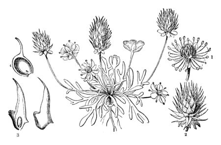 A picture is showing Buttercup, also known as Ceratocephalus orthoceras. This illustration is: 1. flower; 2. ripe fruit, vintage line drawing or engraving illustration.
