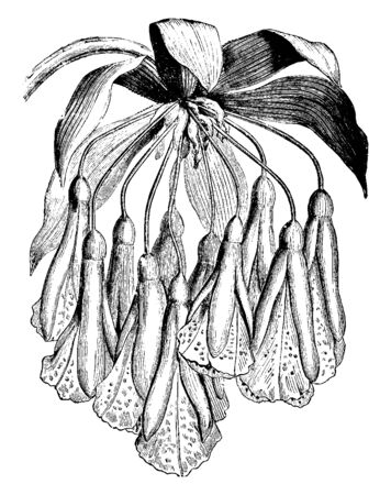 Flowers like a funnel shaped. The outer sepals are slightly smaller than the inner petals. The outside of the flower is red and yellow in the interior, vintage line drawing or engraving illustration.