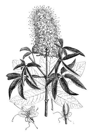 Picture is the flowering branch, detached leaf, flower, and young fruit of Pavia Californica. The flowers are very fragrant and cover the dense head of the tree, vintage line drawing or engraving illustration.