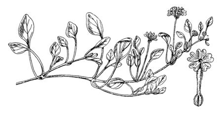 Planting leaves, with angular end, up to 2.5 inches long and thick, Plants grow closer to the ground, small groups of circular flowers grow, and glands are covered with a veil, vintage line drawing or engraving illustration.