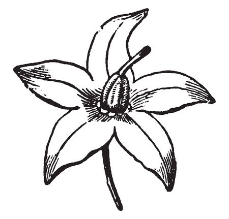 The showing picture of Bittersweet, a wheel shape flower with five petals, vintage line drawing or engraving illustration.