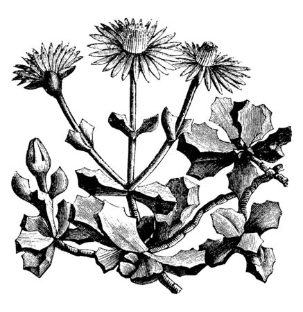 The flowers are a bright pinkish purple and are fairly short and triangular. Plants are low with a multitude of sturdy, leafy branches, vintage line drawing or engraving illustration. Vettoriali