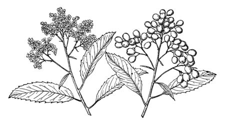 In this picture of the branch of Toyon tree Also known as Heteromeles arbutifolia that branch has leaves and the flowering branches of the tree are grown and they are preparing fruits from that flower, vintage line drawing or engraving illustration.