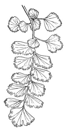 Picture showing Pinna of Adiantum Concinnum. Its leaves are twelve to eighteen inches long and it grow on stout, black stalks, vintage line drawing or engraving illustration. Illustration