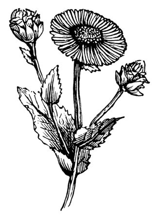 A picture is showing Elecampane, also known as Inula Helenium. It belongs to Asteraceae family of Daisies. It is native to Europe and Asia. This is a flowering plant, vintage line drawing or engraving