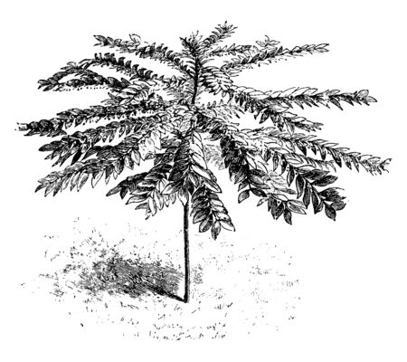 This picture represents Phyllanthus Chantrieri are straight branches are right angel with its stem these flower are bloom in summer, vintage line drawing or engraving illustration.
