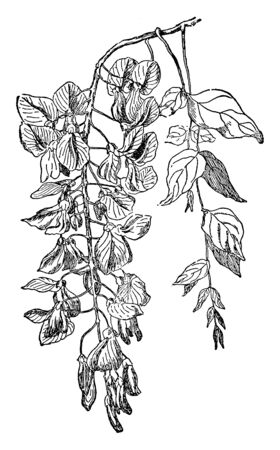 A picture shows the Wisteria Sinensis Plant. This plant is used as a food plant. It produces the seed which is very poisonous and this plant is fragrant, vintage line drawing or engraving illustration.