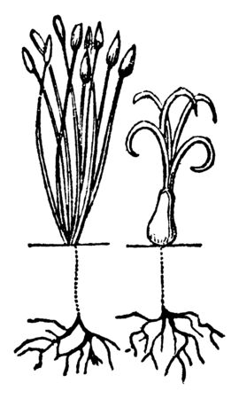 A picture showing Linnaeus Dioecia. This is the sexual system of a plant and here having a stamens and pistils of two different plant, vintage line drawing or engraving illustration.