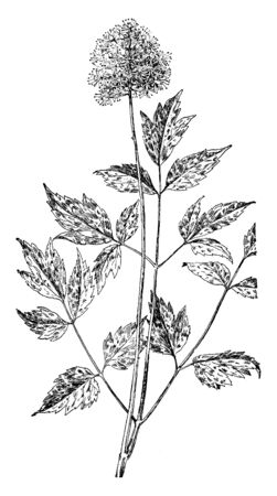 Actaea rubra (red baneberry) is a poisonous herbaceous flowering plant in the family Ranunculaceae, native to North America, vintage line drawing or engraving illustration.