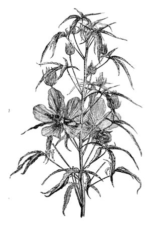 Picture is showing Hibiscus Coccineus plant. It is showing its flowering part in this image. Each stalk consists of five to six leafs. Each flower has five petals, vintage line drawing or engraving illustration. 向量圖像