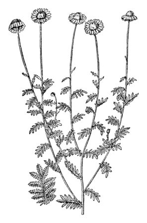 A picture is showing branch and flowers of Anthemis Tinctoria also known as golden marguerite. The flowers of Anthemis tinctoria are large, daisy like, and golden yellow, vintage line drawing or engraving illustration.