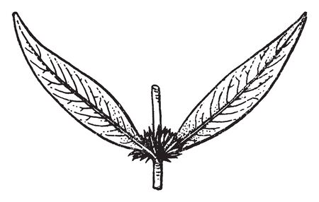 This picture is showing solitary of Hygrophila flower or a few in the axils of the leaves, vintage line drawing or engraving illustration. Ilustração